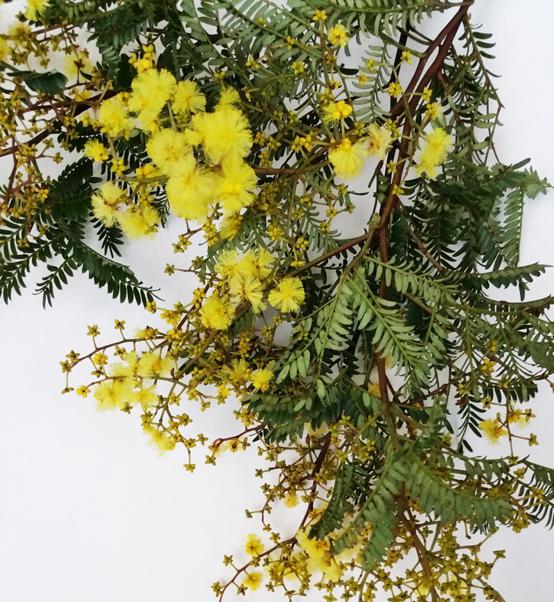 wattle-cut-flowers-DIY