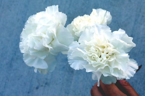 bloombox co white carnations subscription (1)