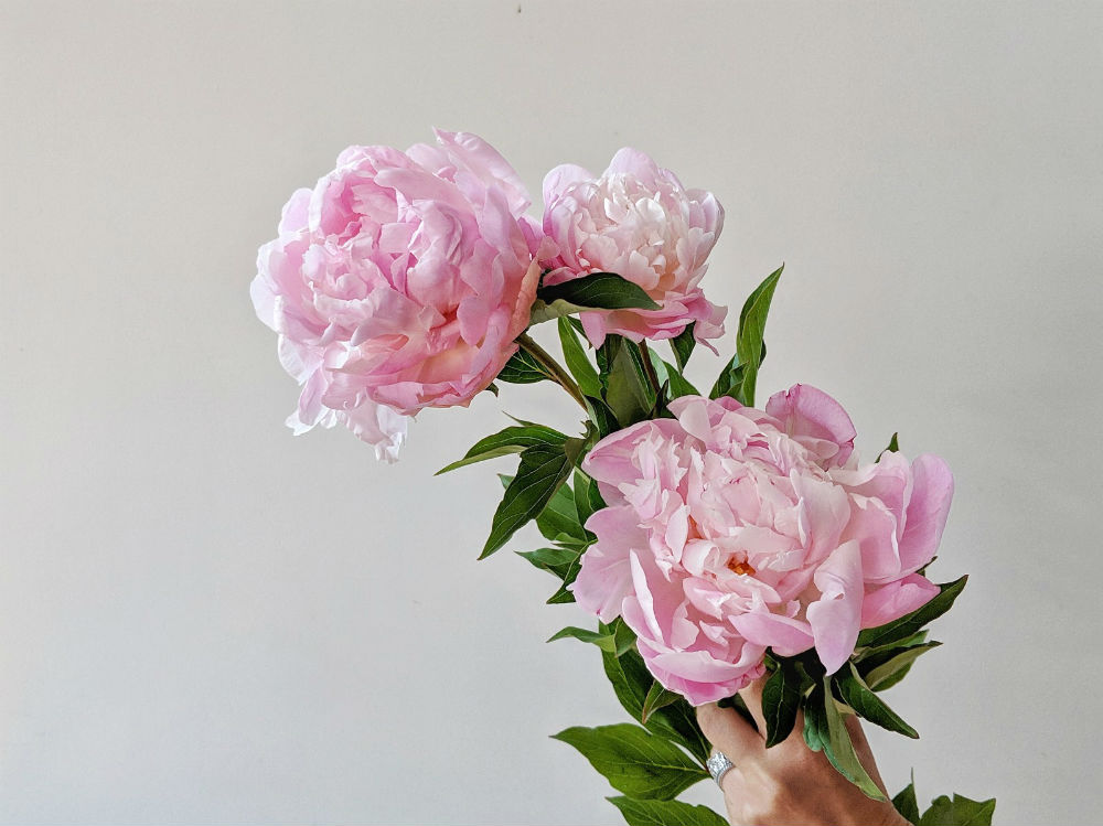 Picking, Arranging, and Caring for long lasting Peonies