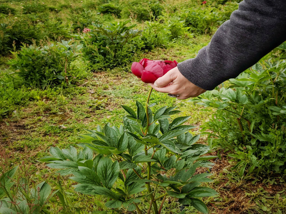 Picking Red Peony on Farm