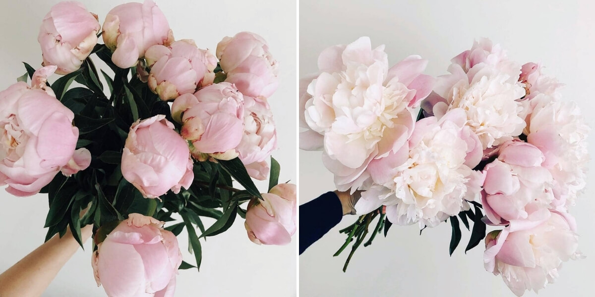 Bloombox Co Peonies Blooming from Bud