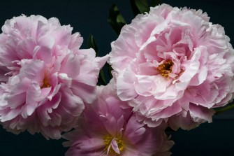 Australian Grown Peonies fully bloomed