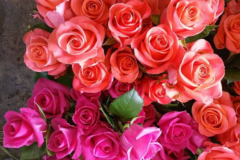Pantone colour of the year coral roses
