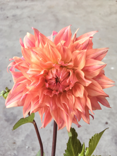 Bloombox Co - Coral Dahlia