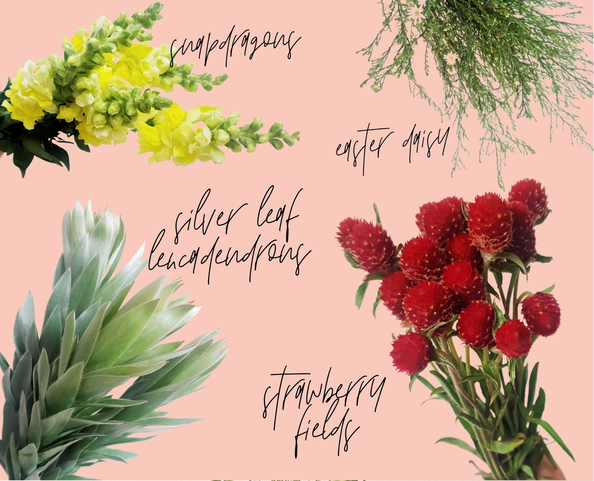 strawberry fields, snapdragons, silver leucadendron